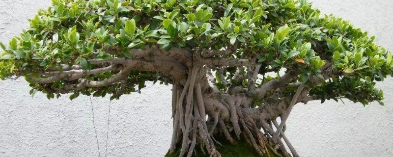 榕树盆景的寓意及象征