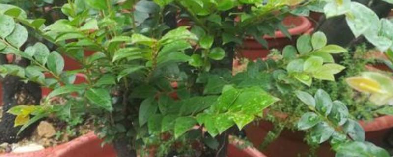 盆栽小葉紫檀干葉有救嗎