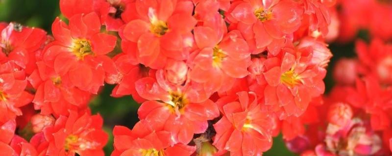 楚晚宁海棠花品种