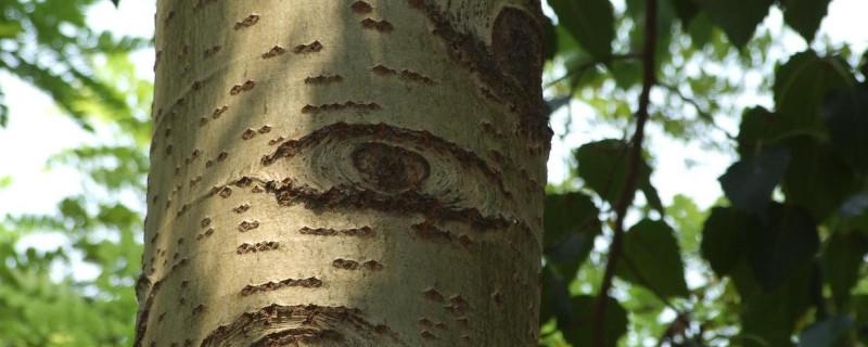 杨树的特点是什么