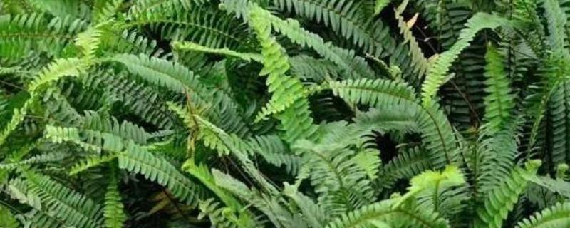 蕨類植物怎么繁殖