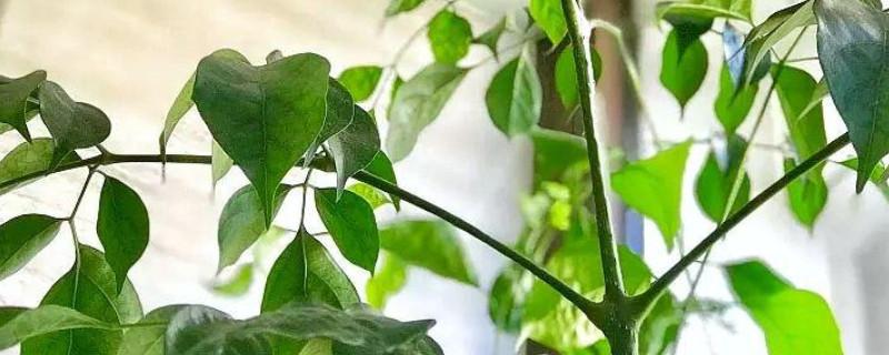 幸福树冻伤的叶子能恢复吗