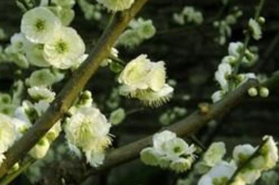 绿梅盆景的养殖方法和注意事项