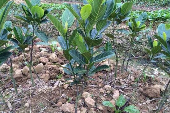 菠萝蜜的种子怎么种才能发芽