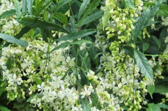 垂絲茉莉的養殖方法和注意事項