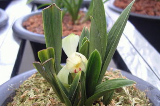 兰花矮种一般长在什么地方