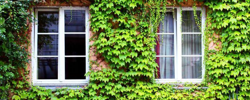 常春藤是攀援植物吗