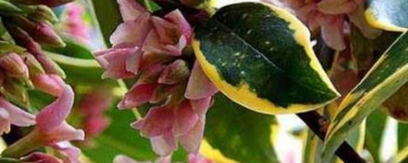 金邊瑞香冬天的養殖方法和注意事項