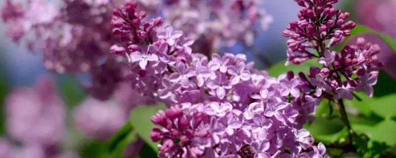 龍牙紫荊是什么花