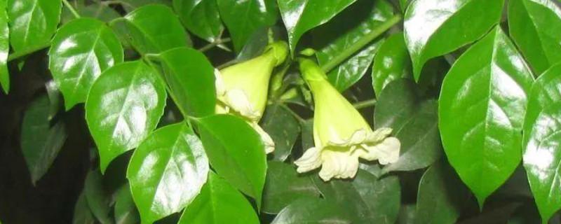 幸福樹開花嗎?幾年一開花