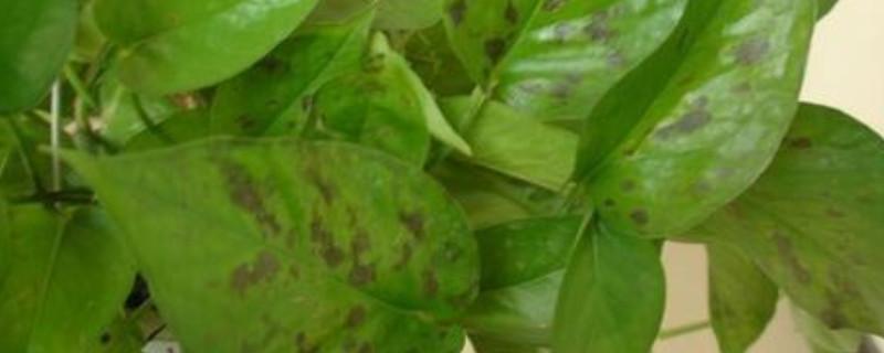 绿萝叶片上有黑斑是怎么回事