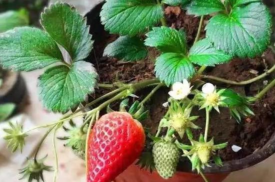 草莓不催芽直接放土里可以吗