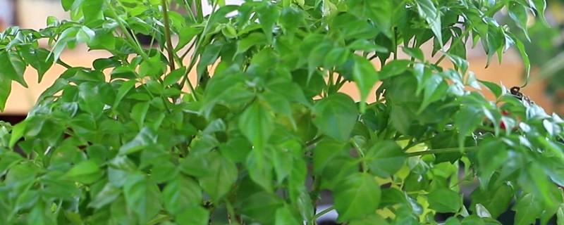 室內幸福樹多長時間澆一次水