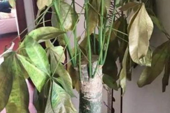 发财树干叶怎么回事