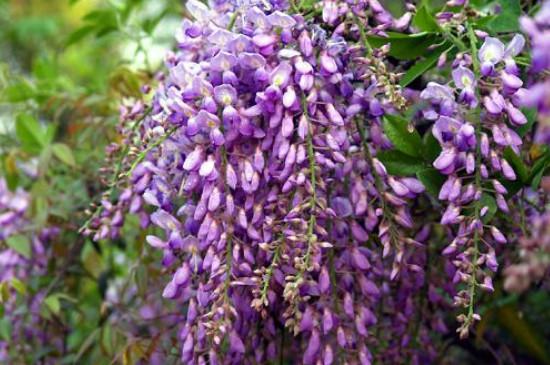 紫藤象征着什么