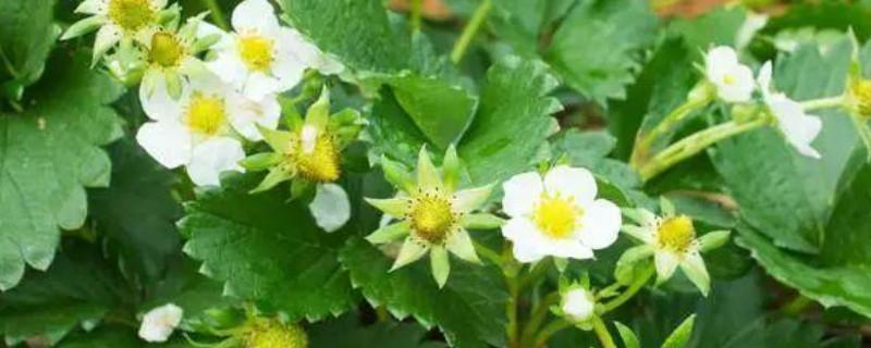什么是草莓花芽分化