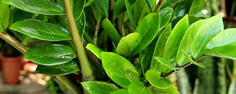 铜钱树的养殖方法和注意事项