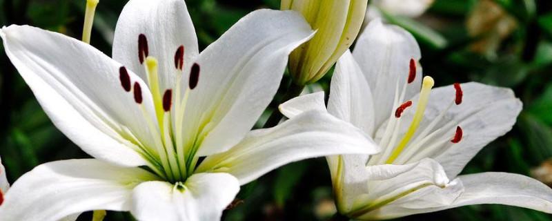 百合花花语和寓意是什么