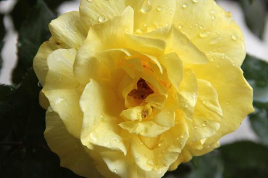 香水玫瑰的养殖方法和注意事项北方