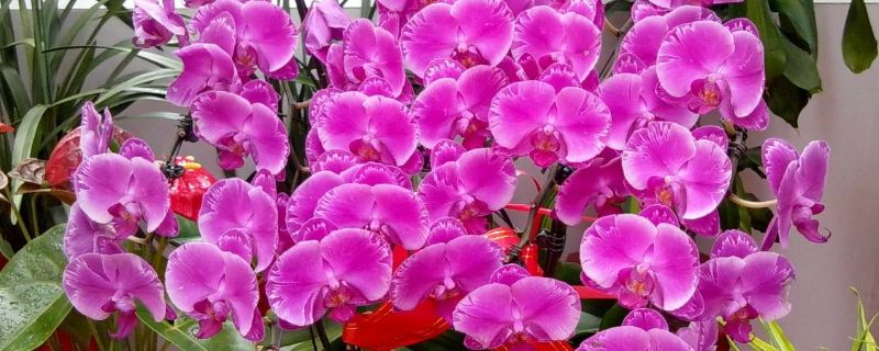 蝴蝶兰花瓣变软变蔫了