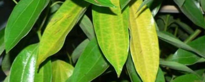 招财树叶子发黄掉叶子是怎么回事