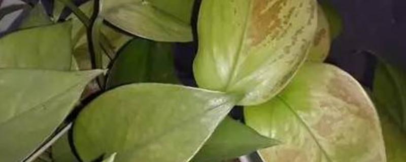 冬天绿萝叶子发黄还能恢复吗
