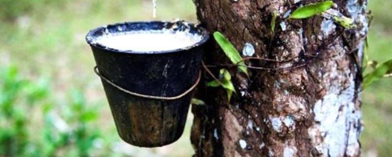 橡膠樹的汁液用途