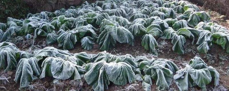 植物被冻死还有救么