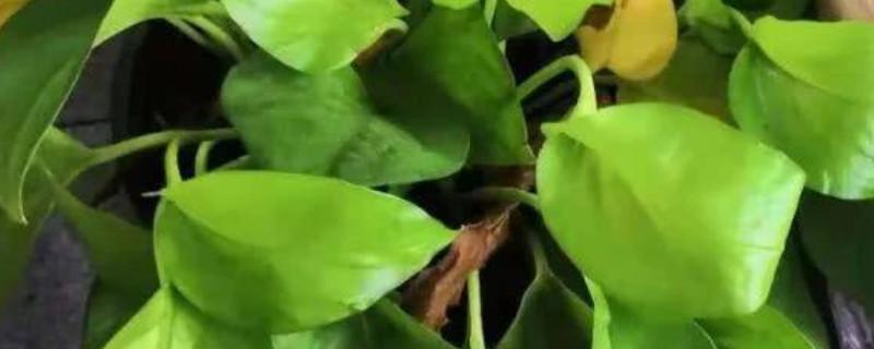 绿萝根部发黑腐烂是什么原因