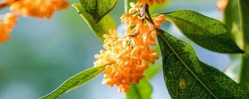 桂樹是桂花樹嗎