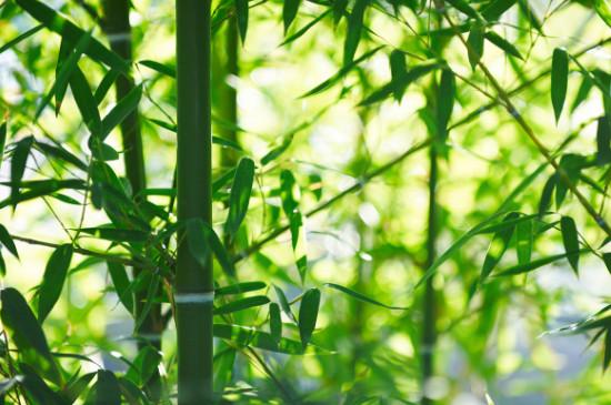 竹子冻了能缓过来吗