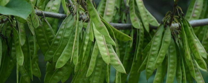 樹上結扁豆一樣的樹是什么樹