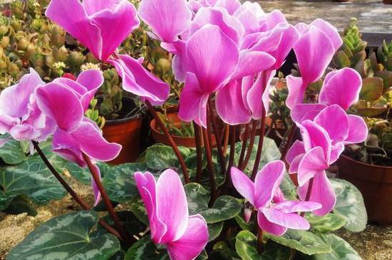仙克兰花的养殖方法