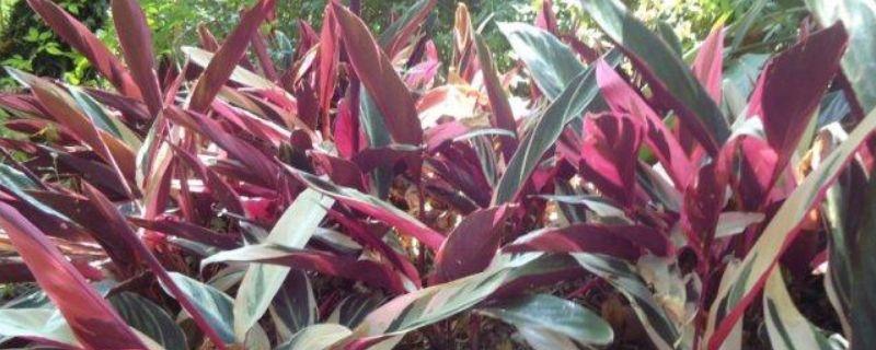 紫背天鹅绒竹芋的养殖方法和注意事项