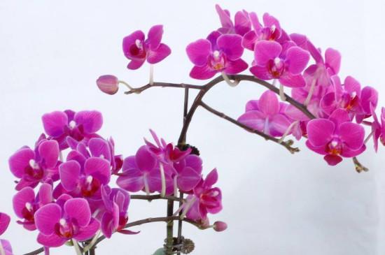 花期最长的蝴蝶兰品种
