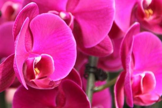 开花的蝴蝶兰的养殖方法和注意事项