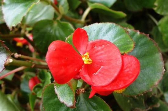 秋海棠花的养殖方法和注意事项