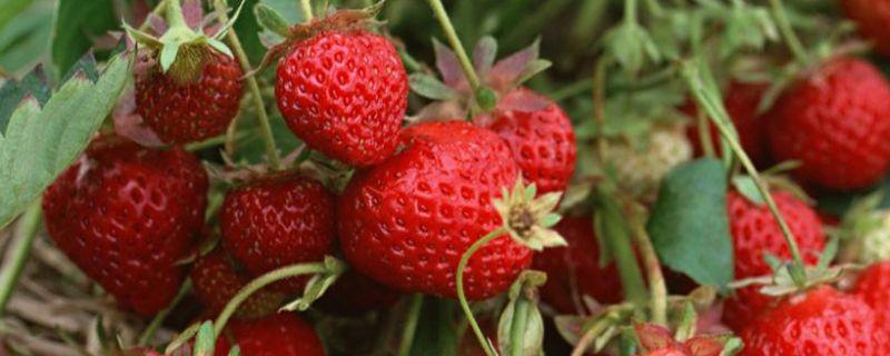 甜查理草莓品种特点