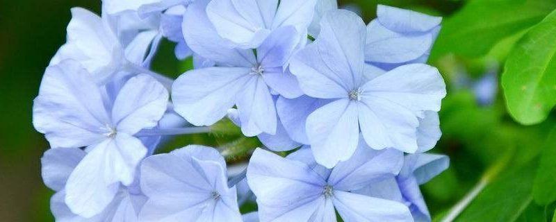 藍雪花葉子背面一層鹽樣的白東西