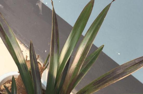 兰花叶尖发黄发黑是什么原因