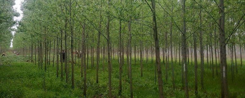 长得最快的杨树品种