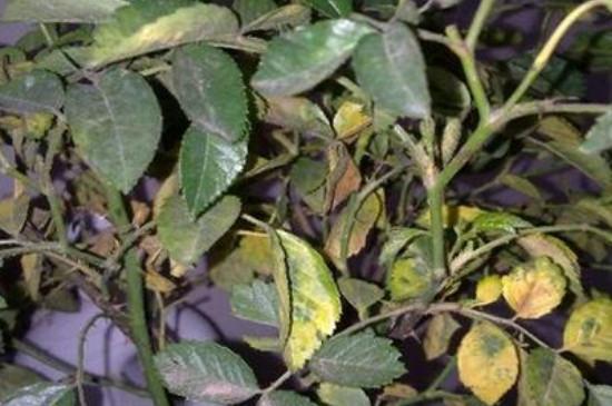 玫瑰叶子发黄枯萎是什么原因