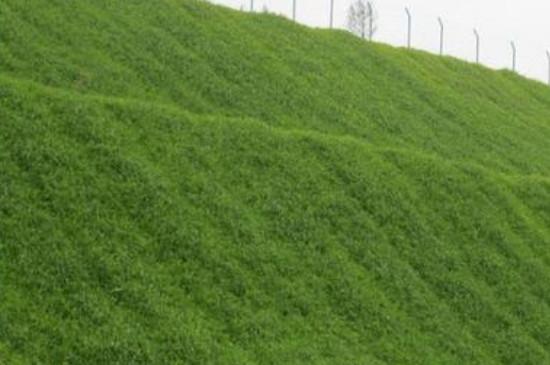 护坡草怎么种