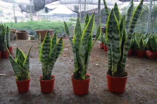 虎皮兰的养殖方法和注意事项冬季