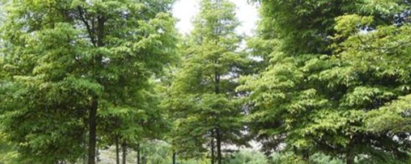 金丝楠木种子怎么播种