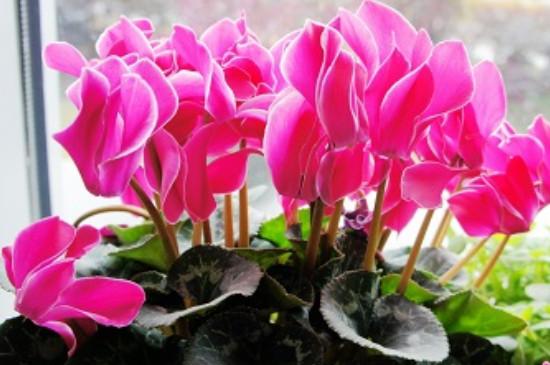 仙客来花卉的养护