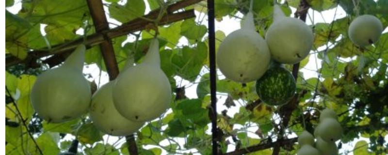 葫芦籽发芽需要泡水多少小时