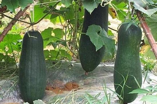 北方种植冬瓜的时间与方法
