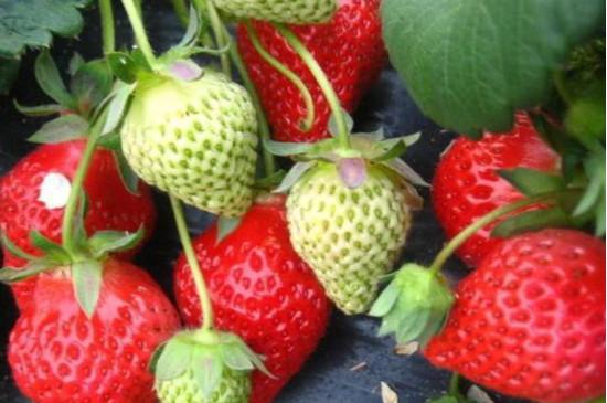 一颗草莓放几粒复合肥