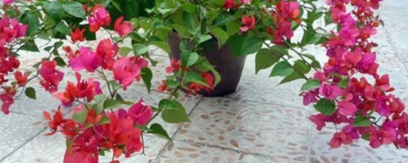 三角梅春天怎么养护才能开花